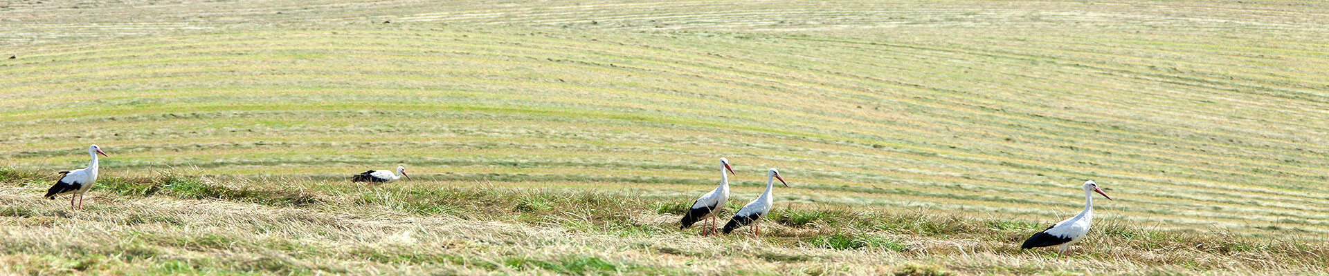 Feld mit Storchen
