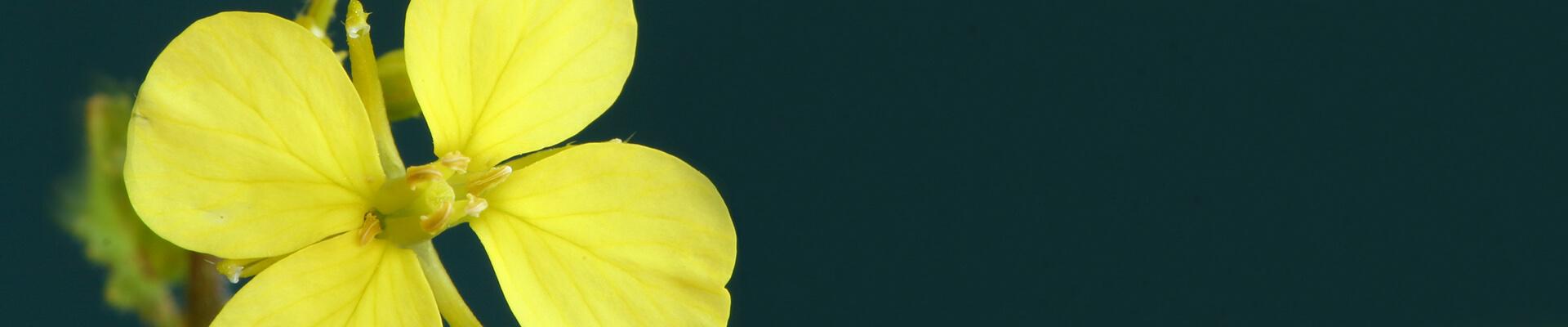 Zwischenfrucht mit gelben Blüten