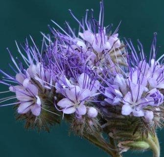 Nahaufnahme Pflanze mit lila Blüten