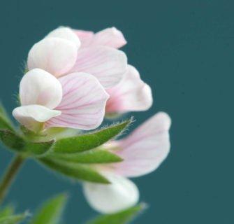 Nahaufnahme Pflanze mit rosa Blüten