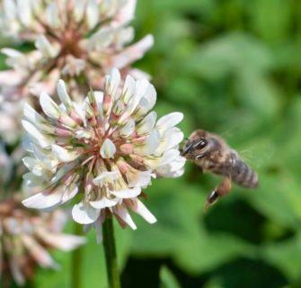 Nahaufnahme Klee mit Biene